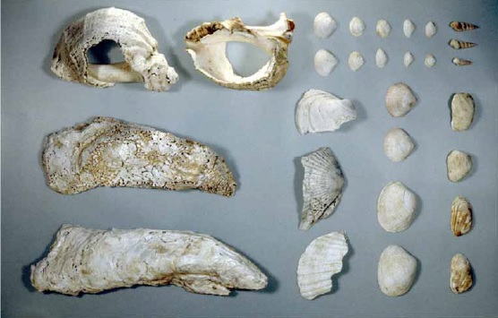 貝層から出土した貝類