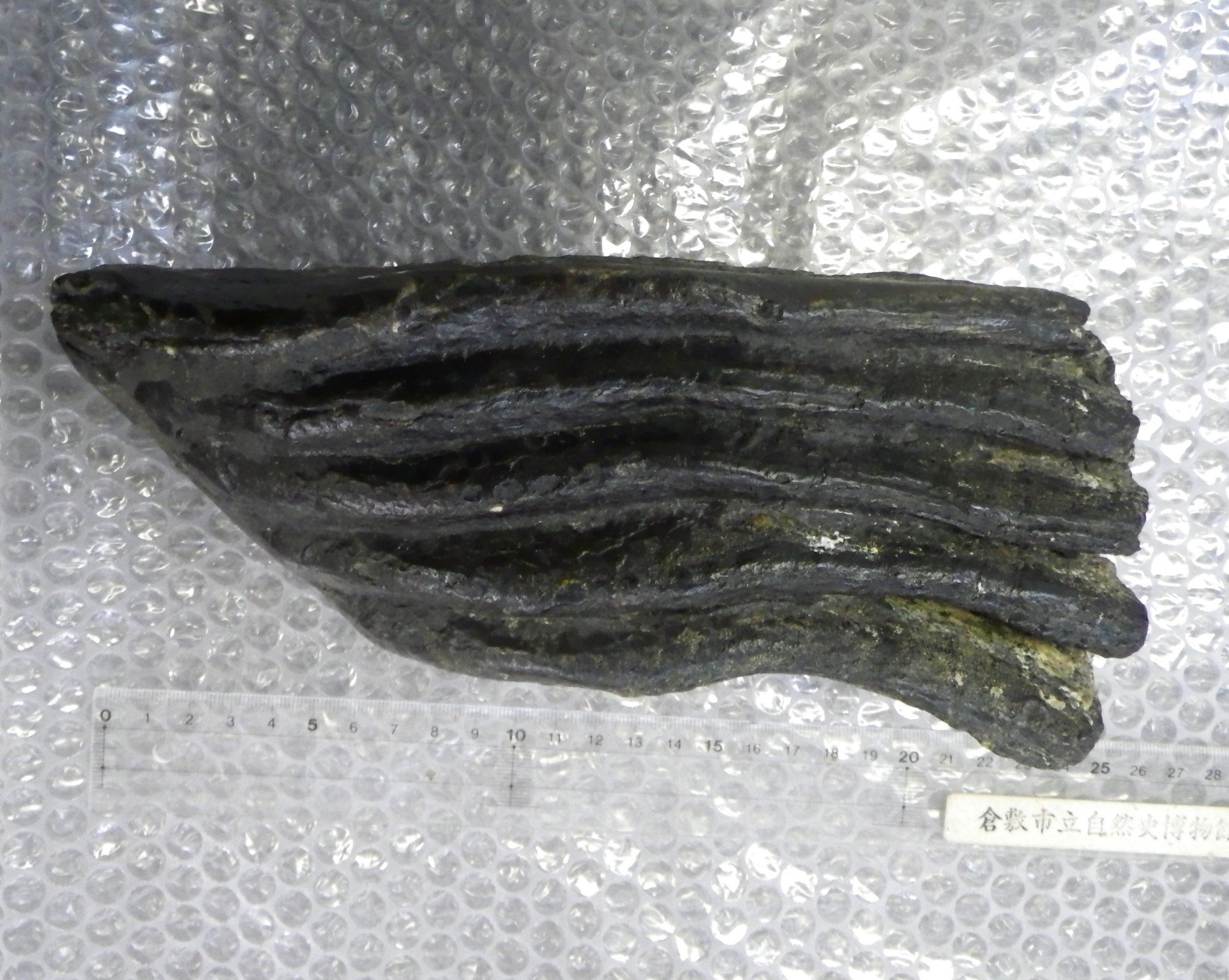 瀬戸内海で上がったナウマンゾウの化石